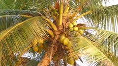 coconuts on palm closeup 4k