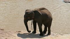 Elephant swinging at the Pinnawala Elephant Orphanage - Sri Lanka 4k