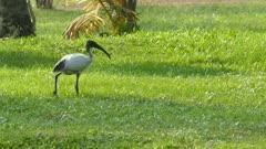 ibis bird walking on meadow