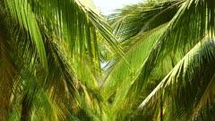 coconut palm leaves 4k