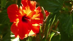 red hibiscus flower closeup 4k