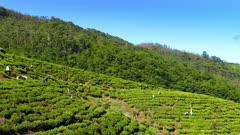Women from Sri Lanka harvested tea leaves in Nuwara Eliya 4k