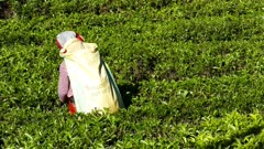 Woman from Sri Lanka harvested tea leaves in Nuwara Eliya 4k