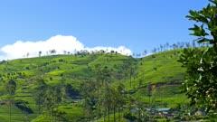 mountain tea plantation in Sri Lanka 4k