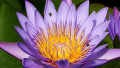 lotus flower closeup 4k