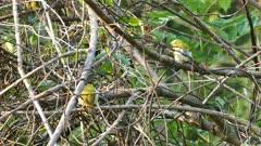 oriental white-eye birds (Zosterops Palpebrosus)
