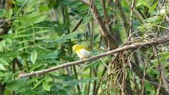 oriental white-eye bird (Zosterops Palpebrosus)