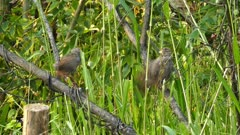 jungle babbler birds (Turdoides striatus)