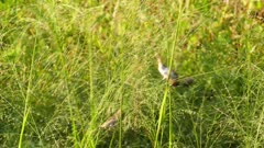 Corn Bunting birds in grass (miliaria calandra)