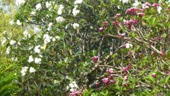 white and red branches of flowering plumeria