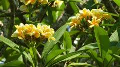 yellow branches of flowering plumeria