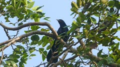 drongo bird on tree 4k