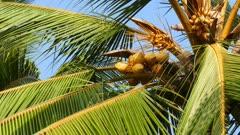 coconuts on palm closeup 4k
