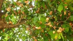Rose apples or chomphu fruits on tree  4k