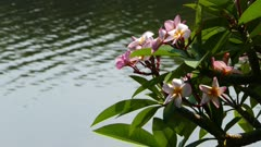 branches of flowering plumeria and lake 4k