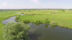 flight over grazing cows on pasture near lake