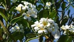 branches of flowering white plumeria