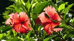 red hibiscus flowers closeup