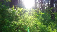 walk in the summer forest at sunset