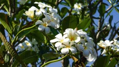 branches of flowering white plumeria 4k