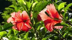 red hibiscus flowers closeup 4k
