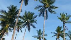 coconut palms under blue sky 4k
