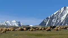 flock of sheep on mountain pasture on snow peaks background , 4k