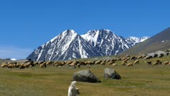 flock of sheep and dog on mountain pasture on snow peaks background , 4k