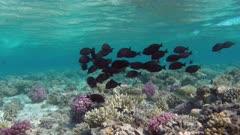 school of brown zebrasoma fish in the Red Sea - Egypt