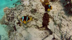 Clownfish shelters and anemone on a tropical coral reef in Red Sea