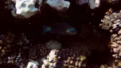 Daisy parrotfish (Chlorurus sordidus) in the Red Sea, Egypt