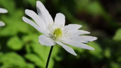 white flower anemone macro in spring wood
