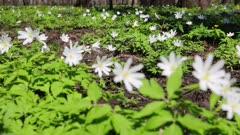 white flowers anemones in spring wood - slider dolly shot