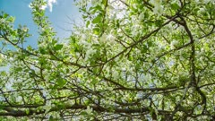 sun shining through blossom apple tree branches - slider dolly shot in RAW