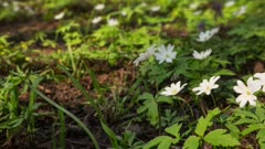 white flowers anemones and flying bee in spring wood - slider dolly shot in RAW