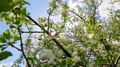 sun shining through blossom apple tree branches - slider dolly shot