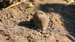 little mouse in the field