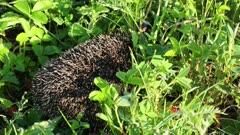 hedgehog goes between grass