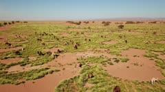 Aerial view on herd of camels grazes near the Sahara desert in Morocco, 4k