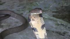 Cobra snake close up portrait, 4k