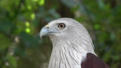 white bellied sea eagle portrait, 4k