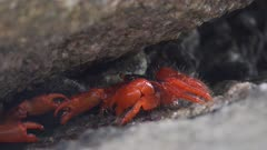 two red crabs fighting in cleft on Similan island in Thailand, 4k