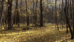 Landscape with falling yellow leaves in autumn forest, 4k