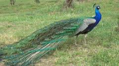 Peacock walking on grass, 4k