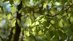 Leaves of beech in the spring forest, 4k
