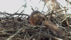 Young red squirrel sleeping in a bird's nest. Telephoto lens. Location: Sweden. September of 2018.