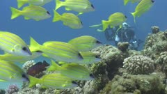 Blue Striped Snapper Over Reef