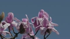 Withering Magnolia blossoms, Close up, Honey bee flying