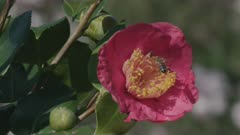 Camellia blossom with honey bee feeding and taking off, Ticino, Switzerland
