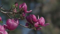 Magnolia blossoms, Close up, Honey bee flying, Ticino, Switzerland